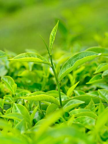 Влияние зеленого чая на потенцию мужчины